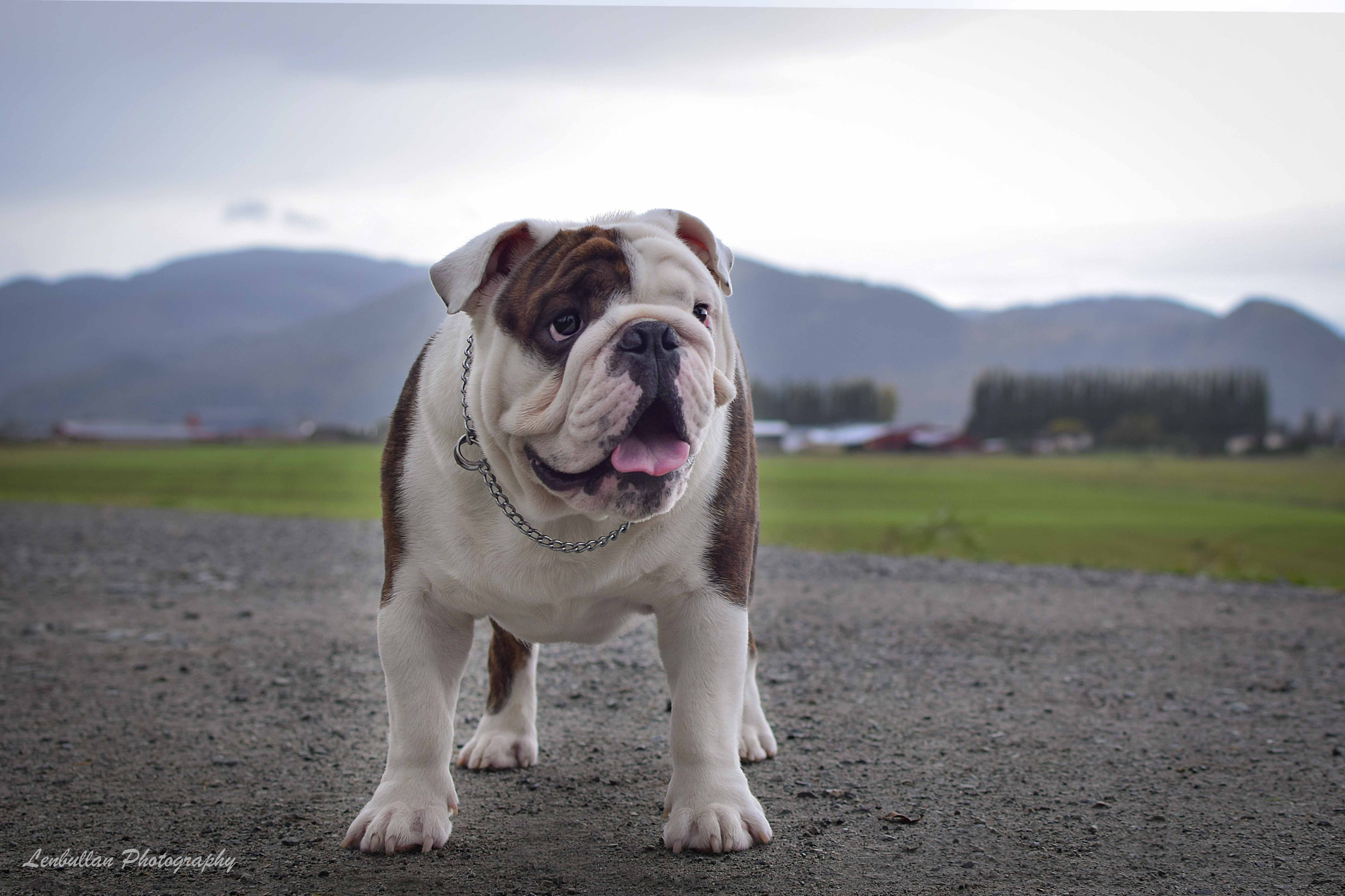 Lenbullan Show Bulldogs We Live For Our Bulldogs And They